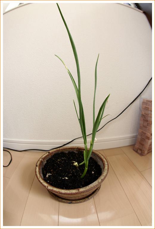 garlic06.jpg